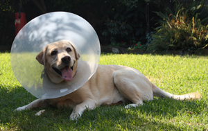 Dog in Cone from Vet